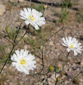 Atrichoseris_platyphylla_8