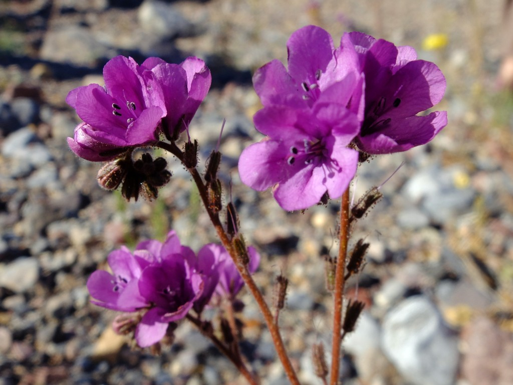 Phacelia-calthifolia-